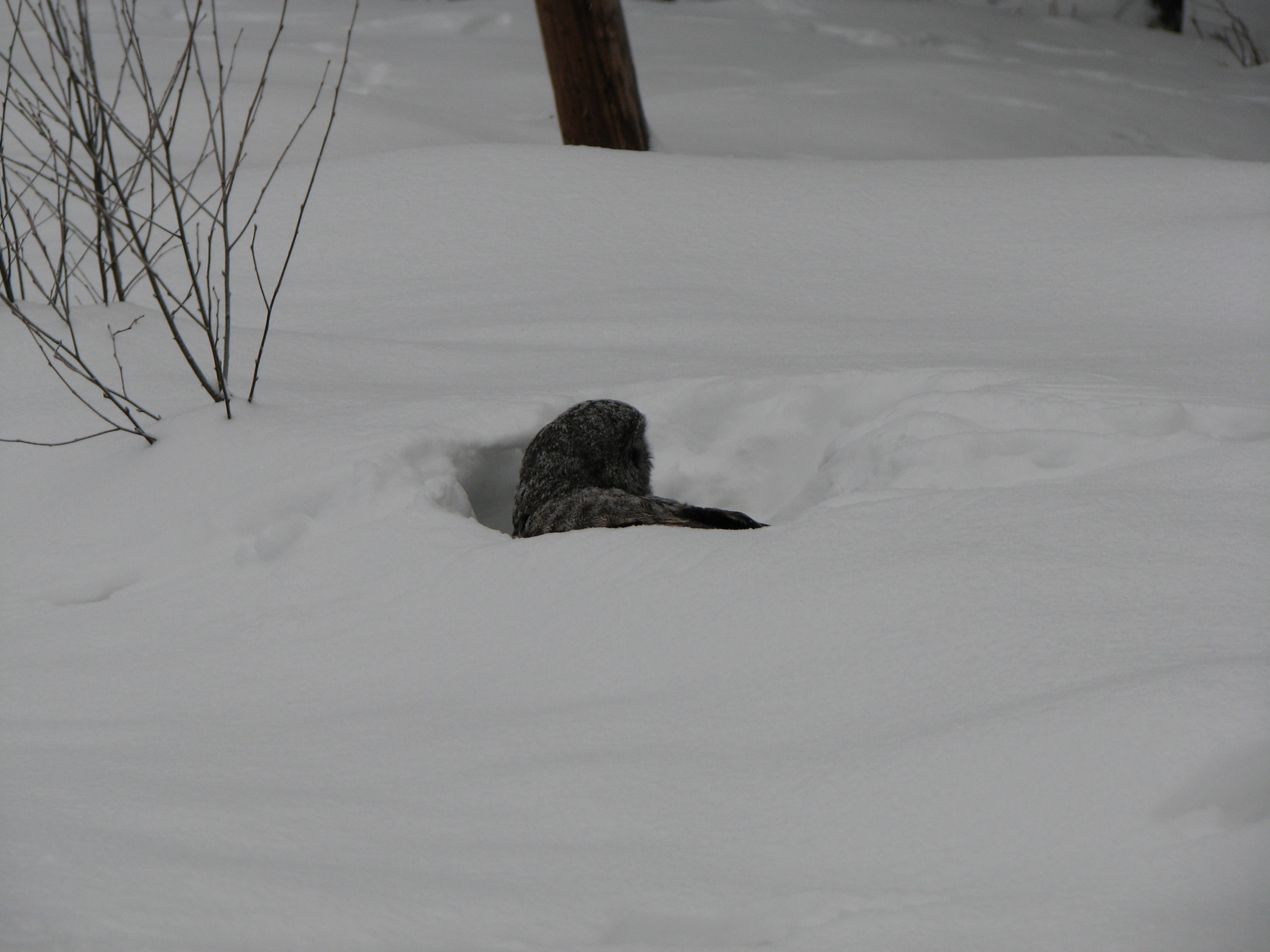 Gray owl, looking for something in the snow