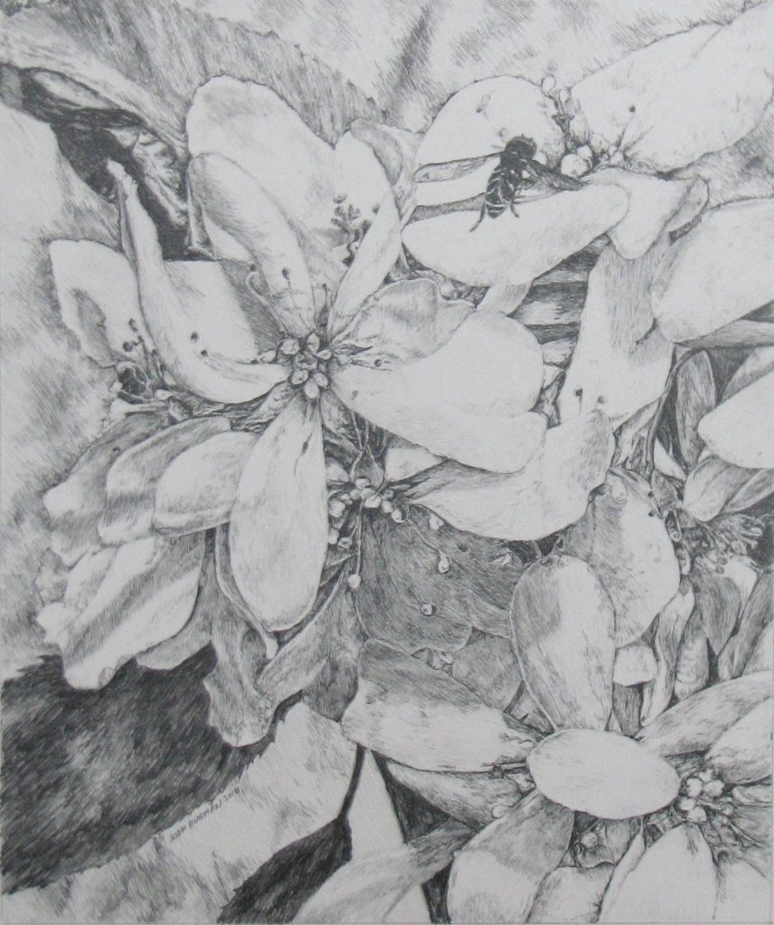 """A Pencil drawing titled: """"Spring Juneberry Blossoms"""" 11x13"""