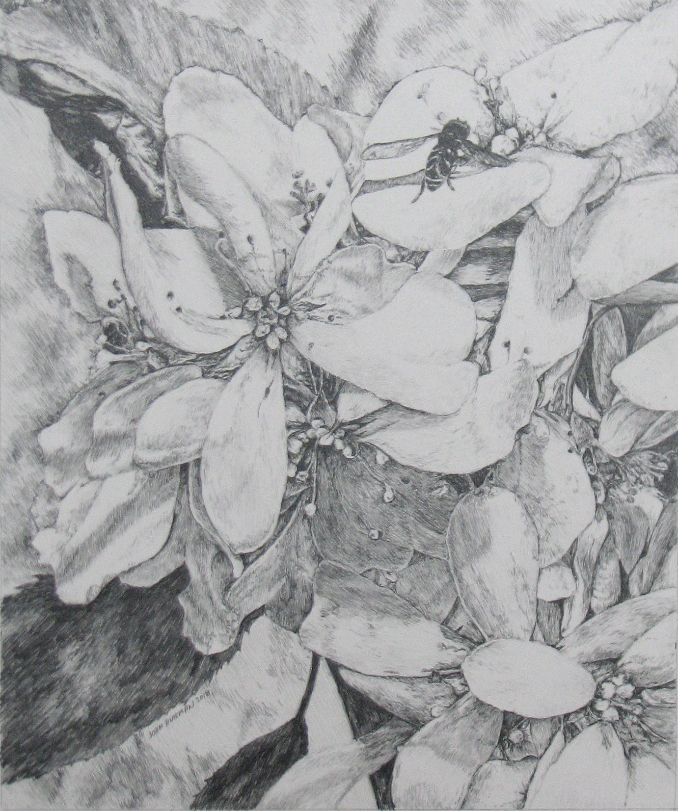 "A Pencil drawing titled: ""Spring Juneberry Blossoms"" 11x13"